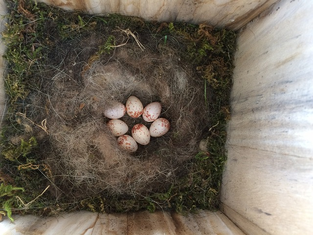 巣箱 シジュウカラ 営巣 ヒナ